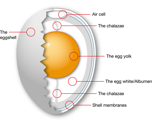 Structure Of The Egg Hedegaard